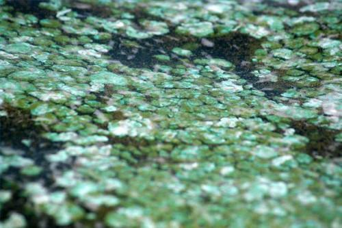 Gesunden Verwendungen für blau-grüne Algen