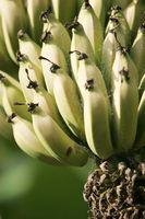 Banane-Pilz