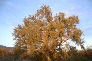 Taube, Jagd in Wickenburg, Arizona