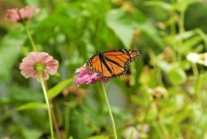 Minnesota State Flower & staatliche Bug