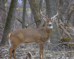 Rotwild-Jagd in Indiana