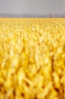 Wie Foodsaver für Mais Einfrieren