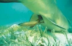 Wie gebären Haie?