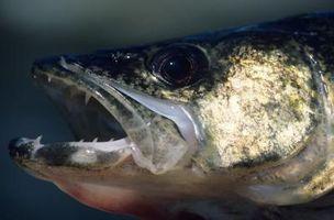 Wie man einen Fisch mit einem Blutegel zu fangen