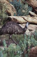 Emu Öl-Kuren