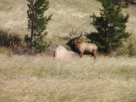 Elch-Jagd-Verordnungen für Colorado