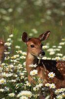Gewusst wie: verhindern, dass Hirsche riechen Sie
