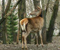 Rotwild-Jagd in Abbau, Ohio