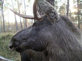 Elchjagd in Süd-Zentral-Alaska