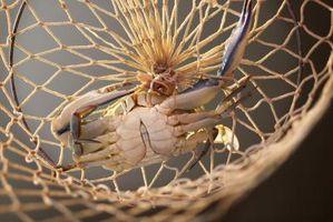Krabbe Sie bei hohen oder niedrigen Gezeiten?