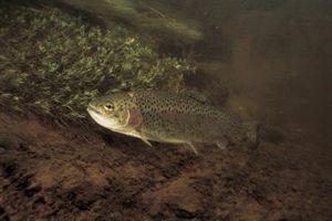 Wie man Forellen fischen unter Lichtern