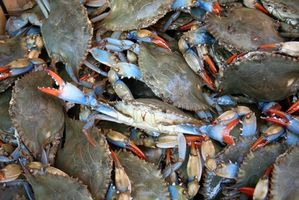 Gewusst wie: Maryland blaue Krabben fangen