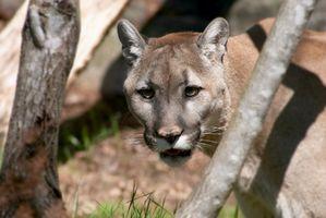Richtige Art und Weise Predator-Aufruf für ein Cougar verwenden