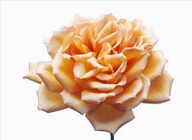 Welche Blumen zum Parfüm verwendet werden?